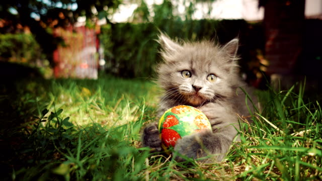 Kitten with a ball Cute, little cat holding ball on the grass in the back yard. kitten stock videos & royalty-free footage