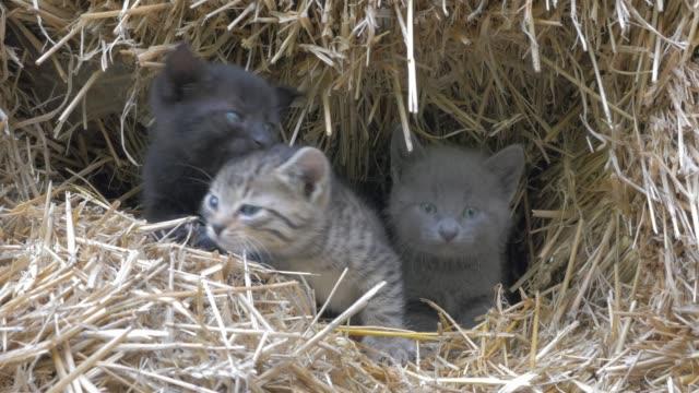 vídeos y material grabado en eventos de stock de gatitos en pajar maullido y mirando a la cámara primer plano 4k 2160p uhd material de archivo - lindos gatos poco escondido en el vídeo uhd de 3840 x 2160 de heno 4k - vibrisas
