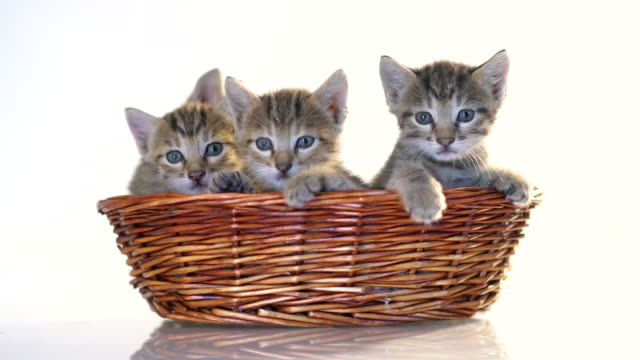 kittens in a basket over white background . - cestino video stock e b–roll