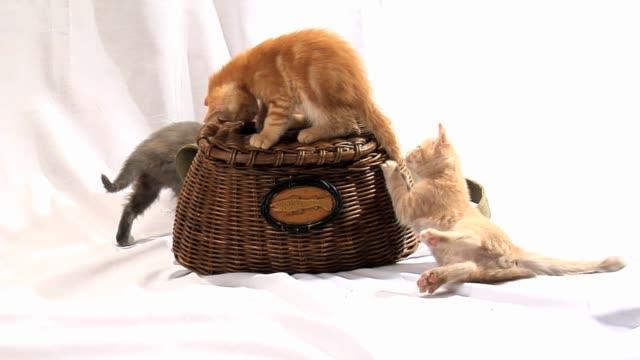 Kittens Playing On Wicker Basket In Studio video