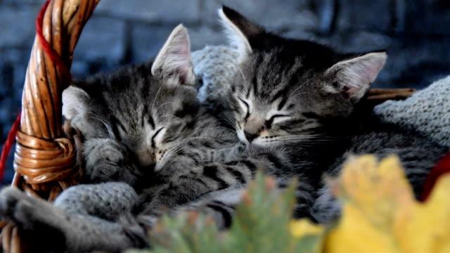 葉っぱの入ったウィッカーバスケットの中で眠っている子猫 - 籠点の映像素材/bロール