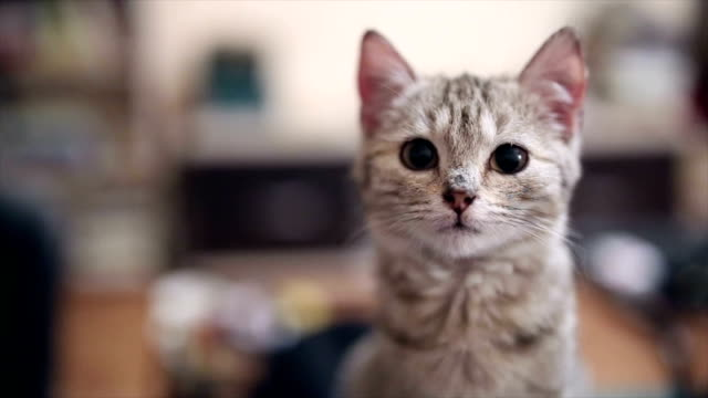 Kitty cat looking at camera Video of a gray kitten indoors at home,looking at camera kitten stock videos & royalty-free footage