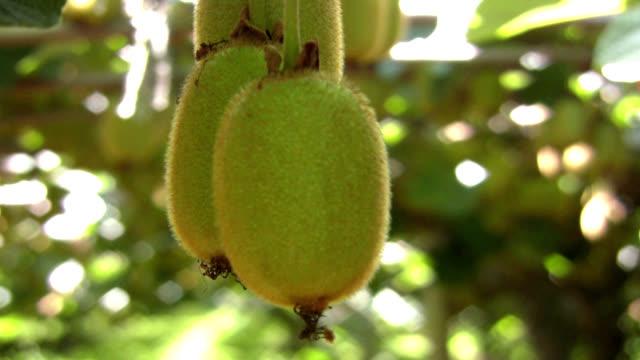 kiwi fruit close up - kiwifrukt bildbanksvideor och videomaterial från bakom kulisserna