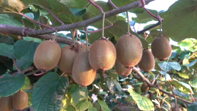 kiwi på trädet - kiwifrukt bildbanksvideor och videomaterial från bakom kulisserna