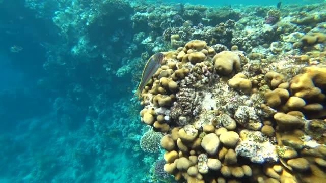 stockvideo's en b-roll-footage met de klunzinger wrasse zwemt via het frame op een achtergrond van koralen. - s