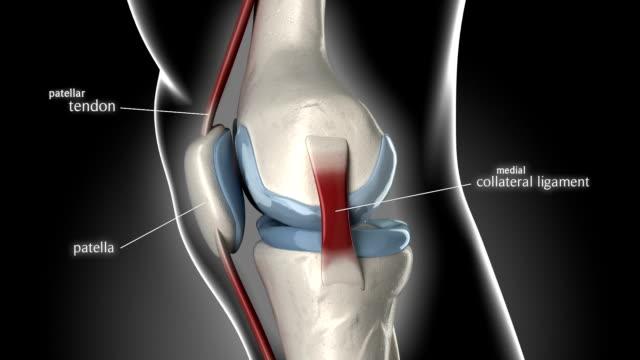 vídeos de stock, filmes e b-roll de joelho ligamentos e articulações anatomia - articulação humana