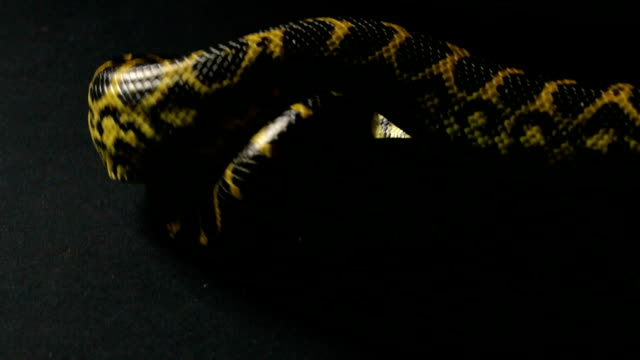 Knot of yellow anaconda video