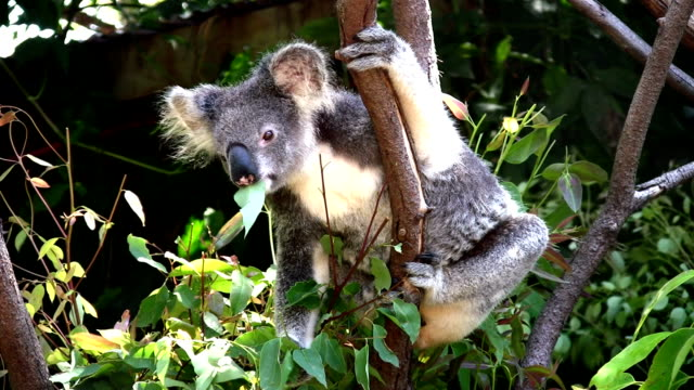Koala, Australia, Chewing on Eucalyptus Leaves in Tree video