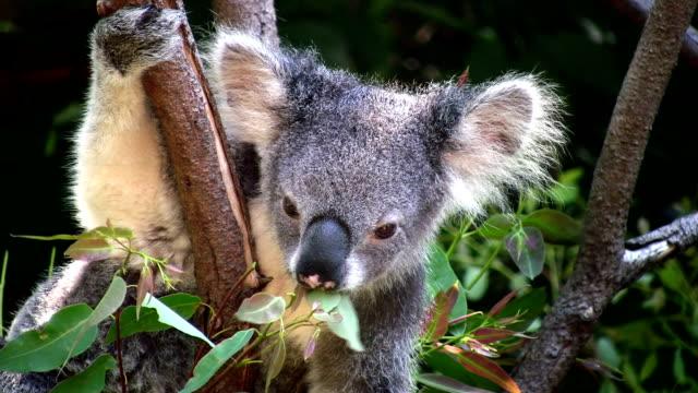 Koala, Australia, Chewing on Eucalyptus Tree Leaves. Close-up. video
