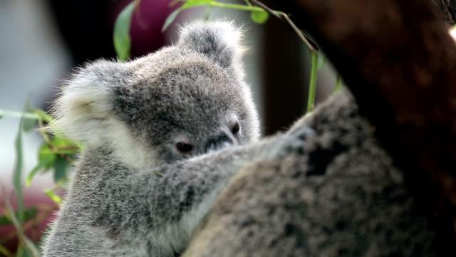 koala baby video