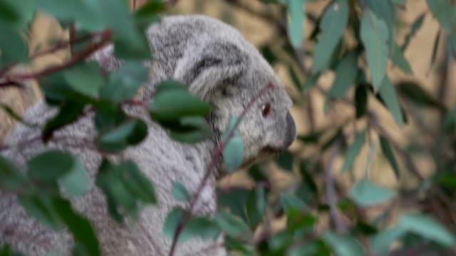koala bear jumping