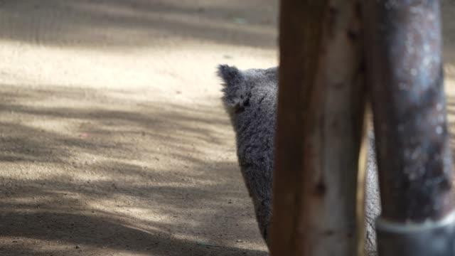koala bear looking around and running away video
