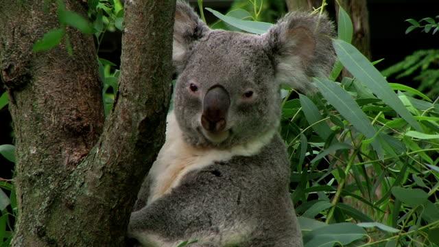 Koala Bear Looking Around video