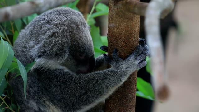 koalabär über tree branch.   der koala - faul ast stock-videos und b-roll-filmmaterial