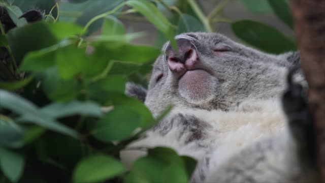 Oso Koala. - vídeo