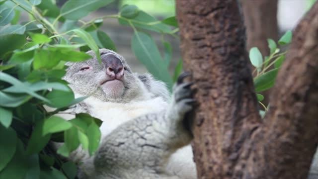 Koala bear. video