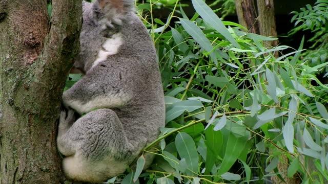 Koala Bear Waking Up video