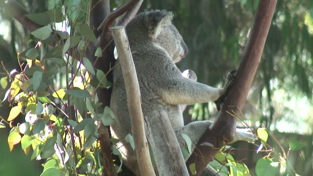 (HD1080i) Koala Dream Time video