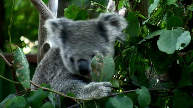 koala eating eucalyptus leaves, australia - eucalyptus leaves bildbanksvideor och videomaterial från bakom kulisserna