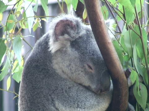 Koala Face Twitch video