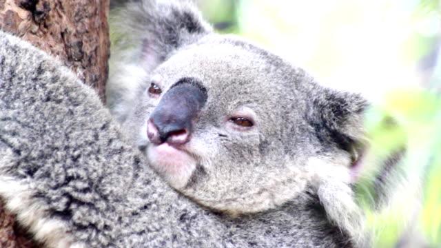 Koala face video