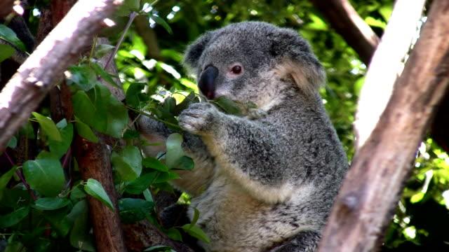 Koala feeding on eucalyptus foliage