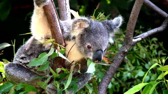 koala feeding on eucalyptus leaves, australia - eucalyptus leaves bildbanksvideor och videomaterial från bakom kulisserna