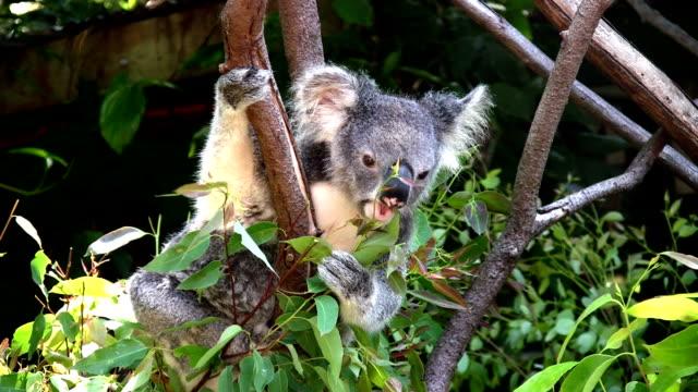 Koala feeding on eucalyptus leaves video
