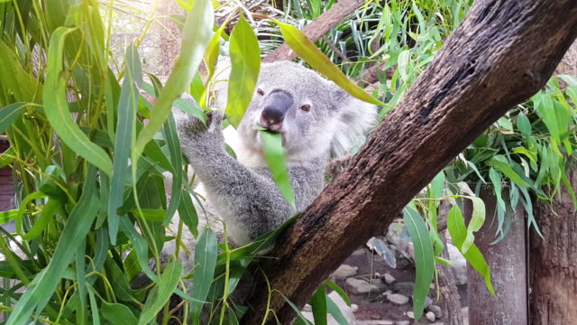 Koala feeding on Eucalyptus Tree video
