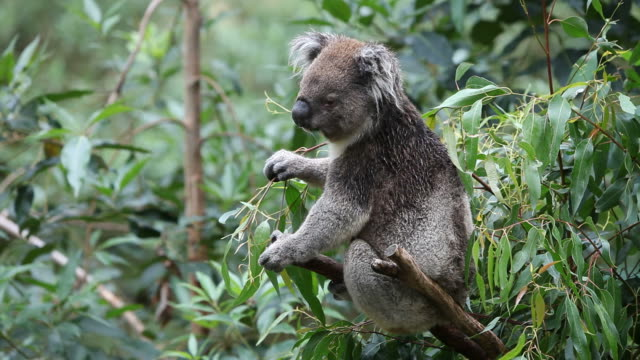 Koala feeding video