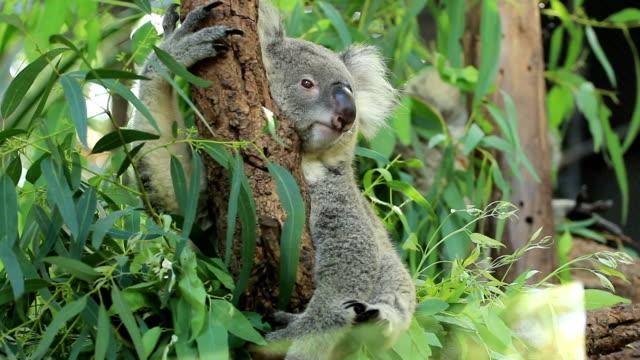 Koala in 4 actions. video