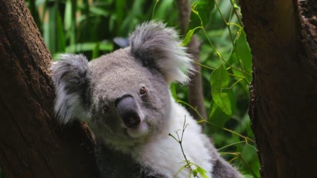 Koala in 4k video