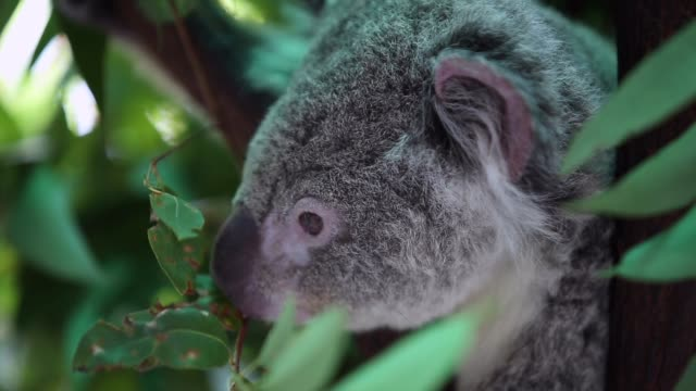 Koala in the nature