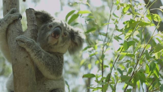 Koala in tree - Australia video