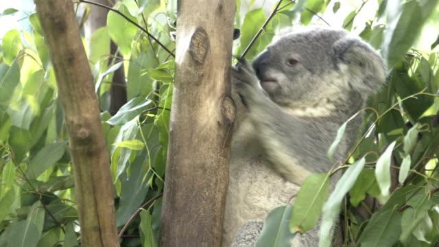 koala in tree - eucalyptus leaves bildbanksvideor och videomaterial från bakom kulisserna