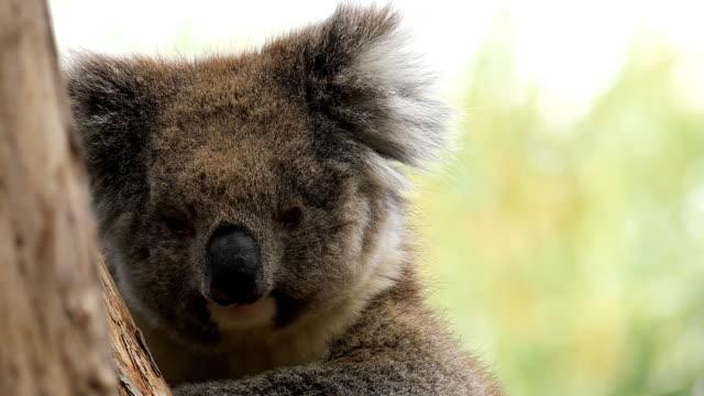 Koala, Phascolarctos Lasiurus, close-up video