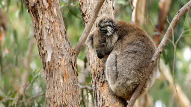 Koala, Phascolarctos Lasiurus, in een boom video