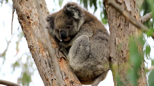 koala, phascolarctos cinereus, avkopplande - eucalyptus leaves bildbanksvideor och videomaterial från bakom kulisserna
