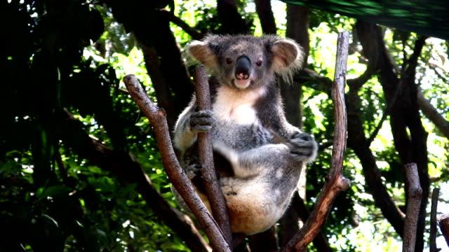 Koala scratching video