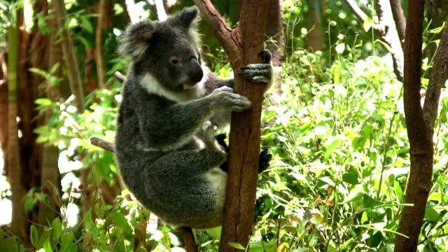koala sitting in a gum tree - eucalyptus leaves bildbanksvideor och videomaterial från bakom kulisserna