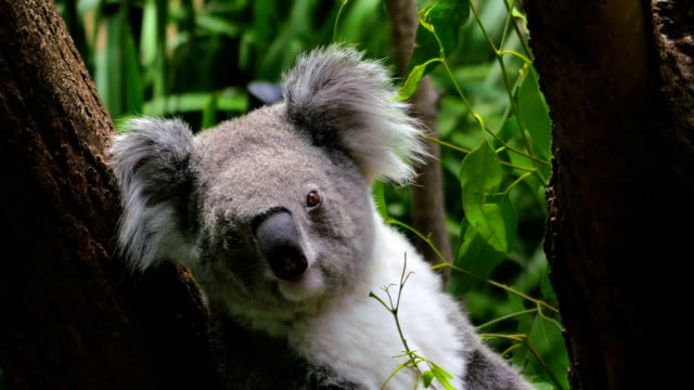 Koala sitting in a tree, close-up (4K/UHD to HD) video