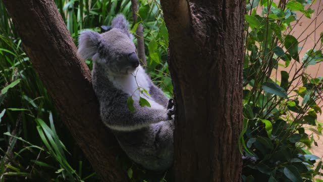 Koala sitting in a tree in 4k video