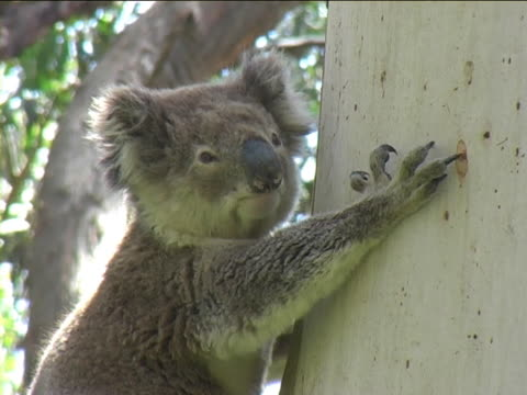 Koala turning his head video