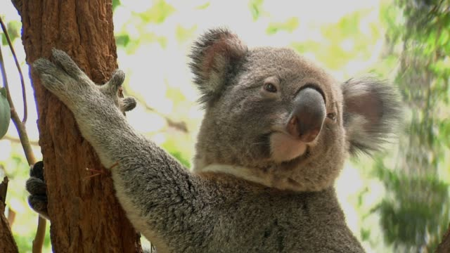 Koala up a tree Single shot hanging stock videos & royalty-free footage