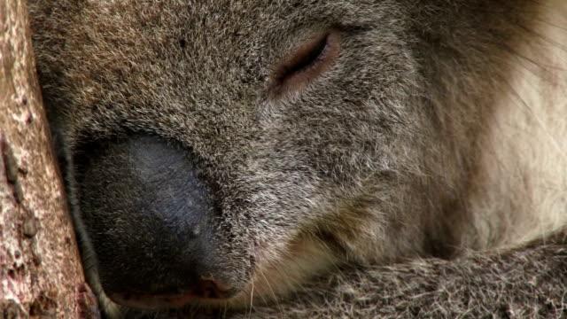 Koala VCU sleeping video