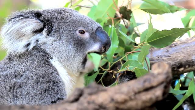 koala. - eucalyptus leaves bildbanksvideor och videomaterial från bakom kulisserna
