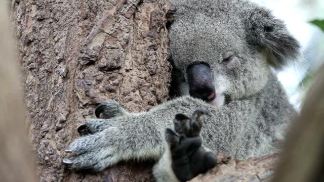 Koala. video