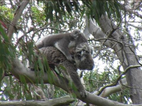 Koala with baby video
