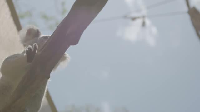 Koalas sitting in a tree video