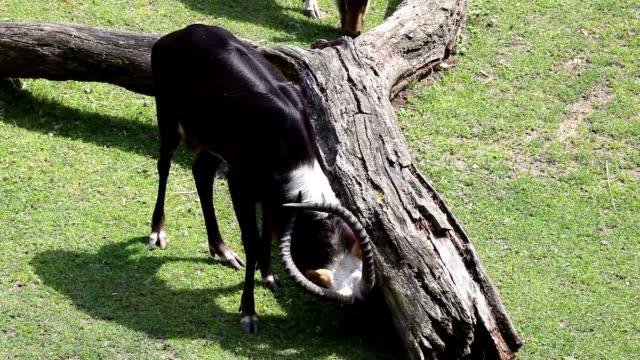 Kobus Megaceros Antelope video